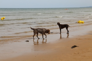These two dogs were having a grand time on Omaha Beach.