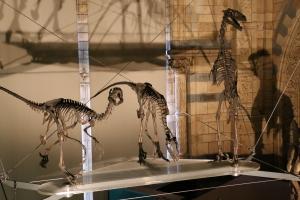 Dromaeosaurus skeletons