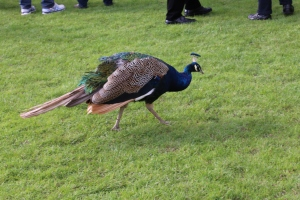 Peacock! I saw at least two on my visit to Warwick.