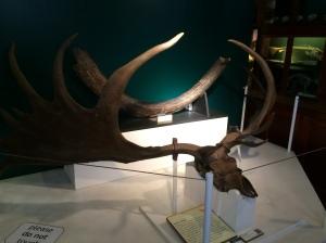 Giant Deer antlers - prehistoric deer were giant, apparently