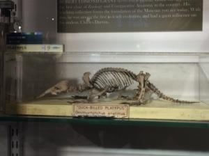 Duck-billed platypus skeleton