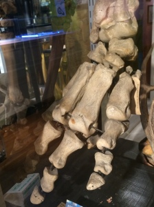 Hippopotamus foot