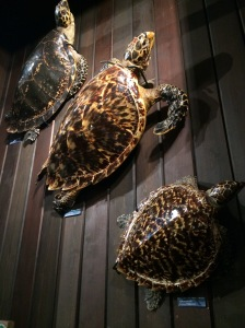 Hawksbill turtles - endangered because of souvenirs.