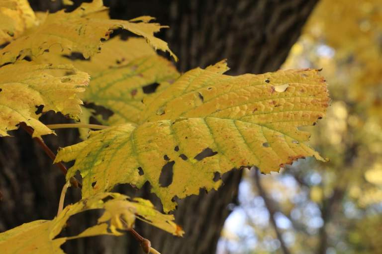 I love the desiccation of these leaves, even before they fall.