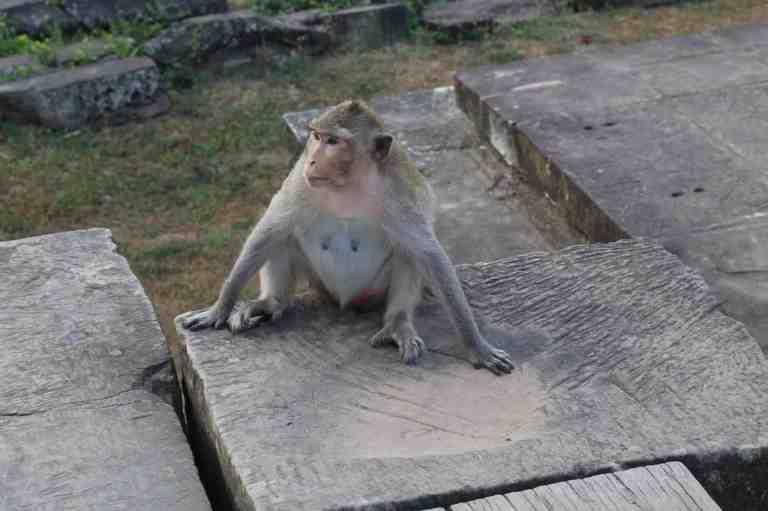 AngkorWatMonkeys19