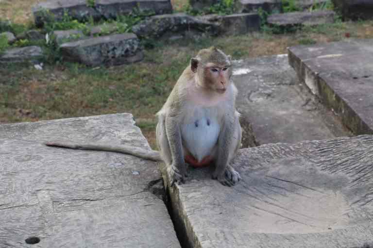 AngkorWatMonkeys20