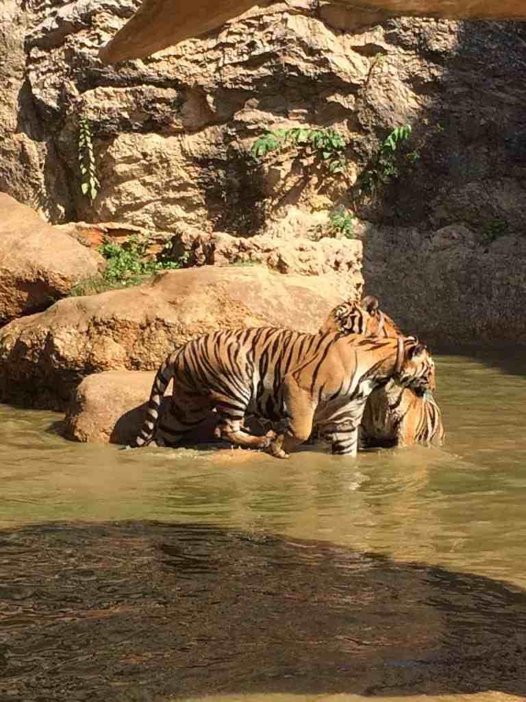 TigersAdult10