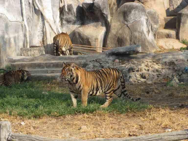 TigersAdult1