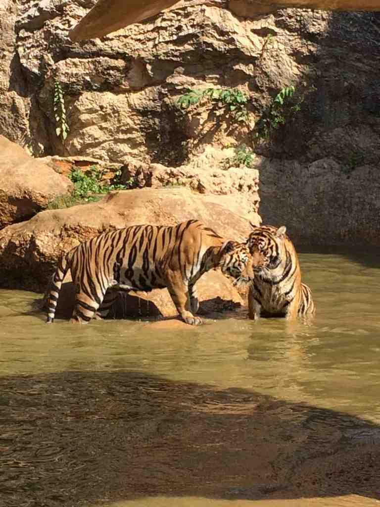 TigersAdult11