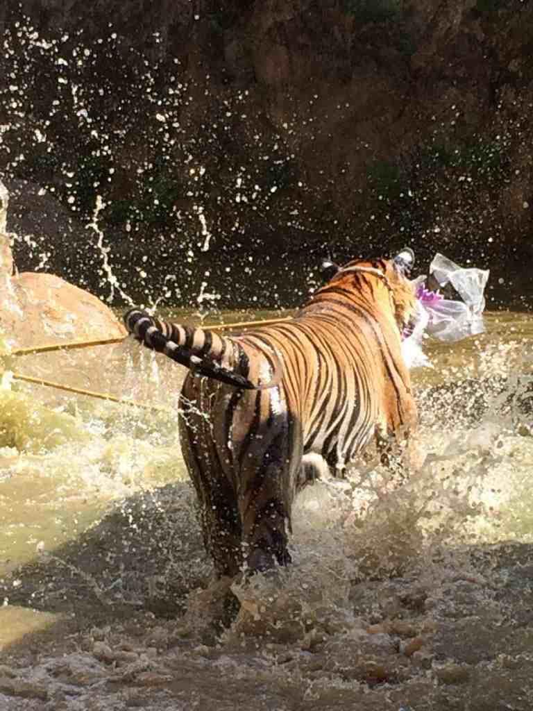 TigersAdult13