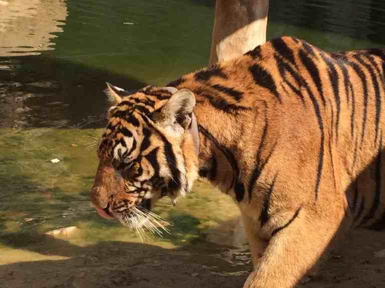 TigersAdult17