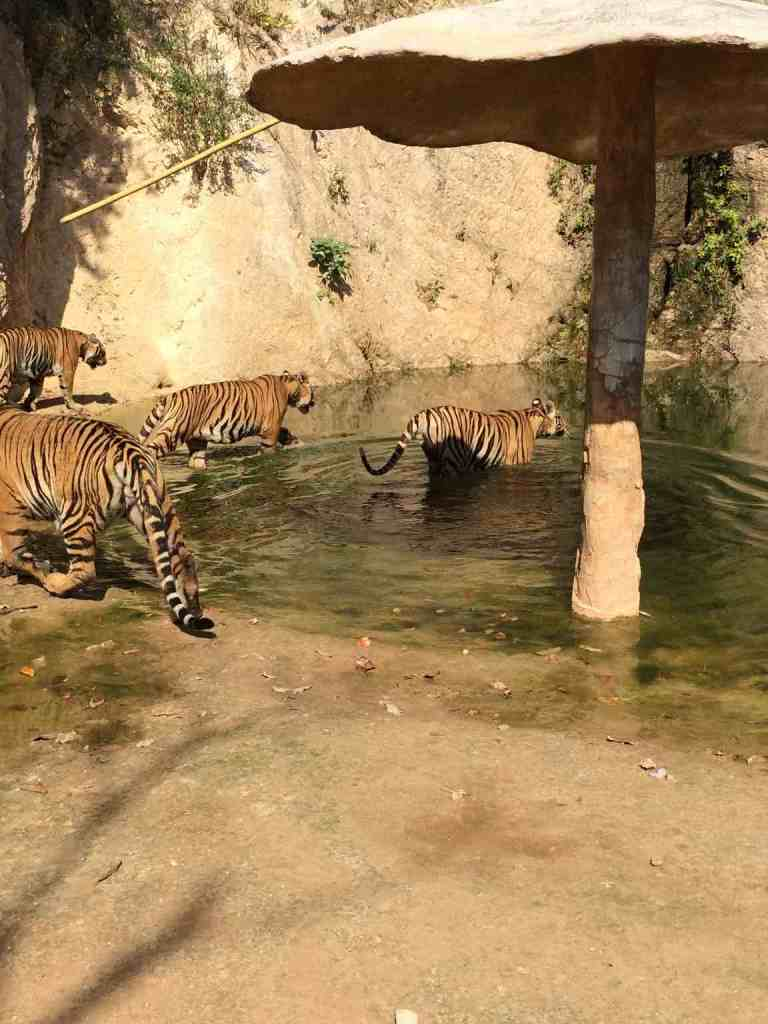 TigersAdult18