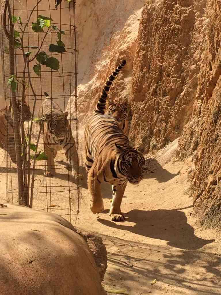 TigersAdult19