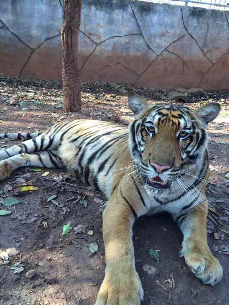 TigersAdult3
