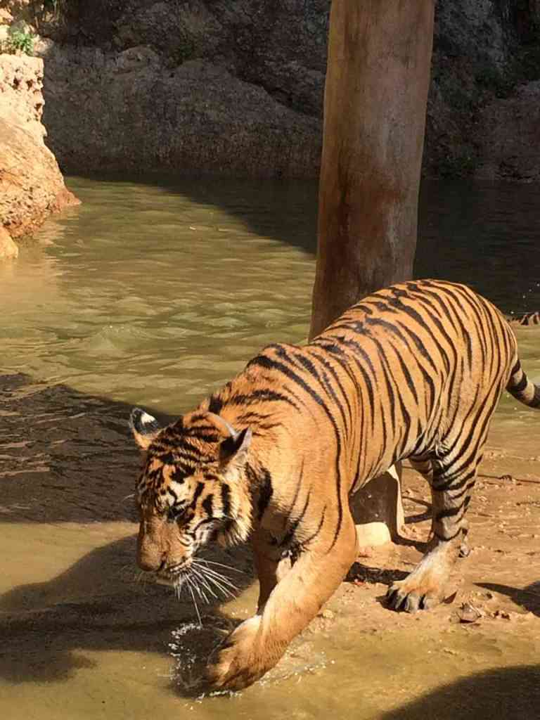 TigersAdult9
