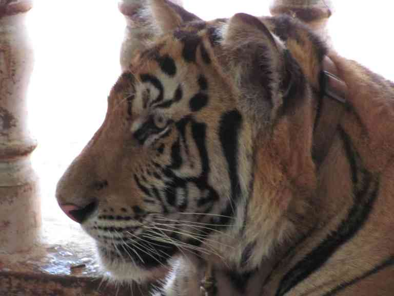 TigersJuvenile11