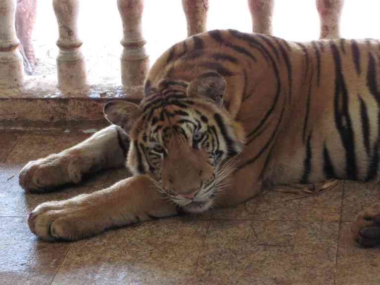 TigersJuvenile12