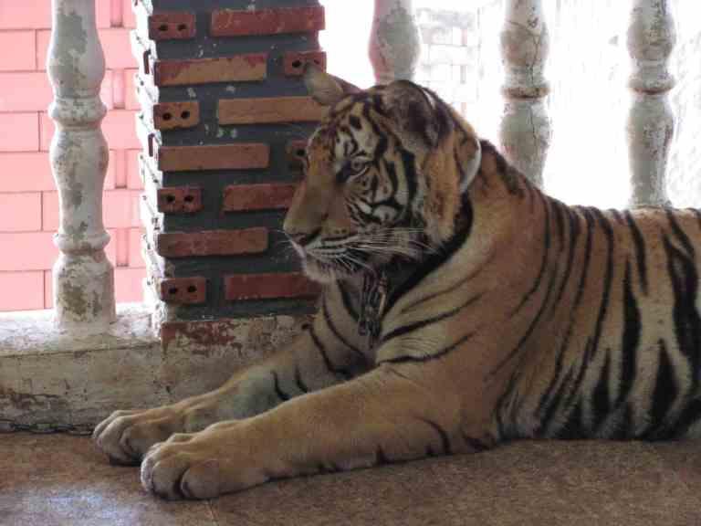 TigersJuvenile14