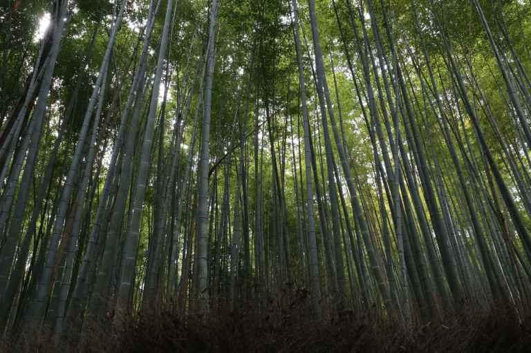 KyotoBamboo14