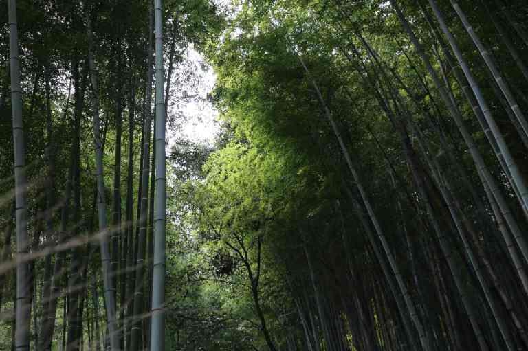 KyotoBamboo15