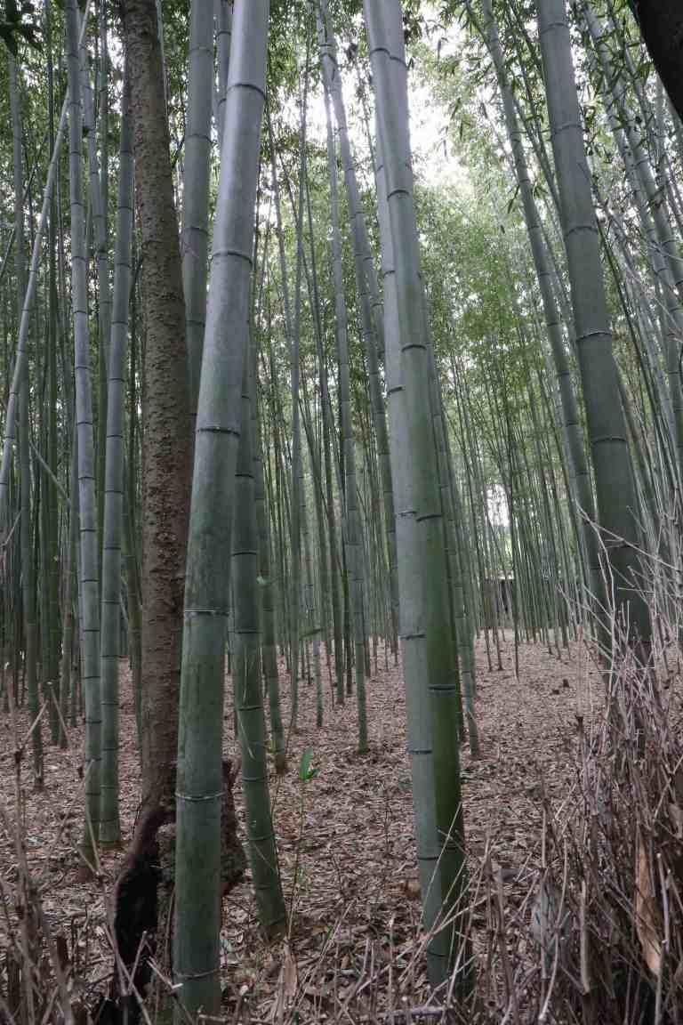 KyotoBamboo4