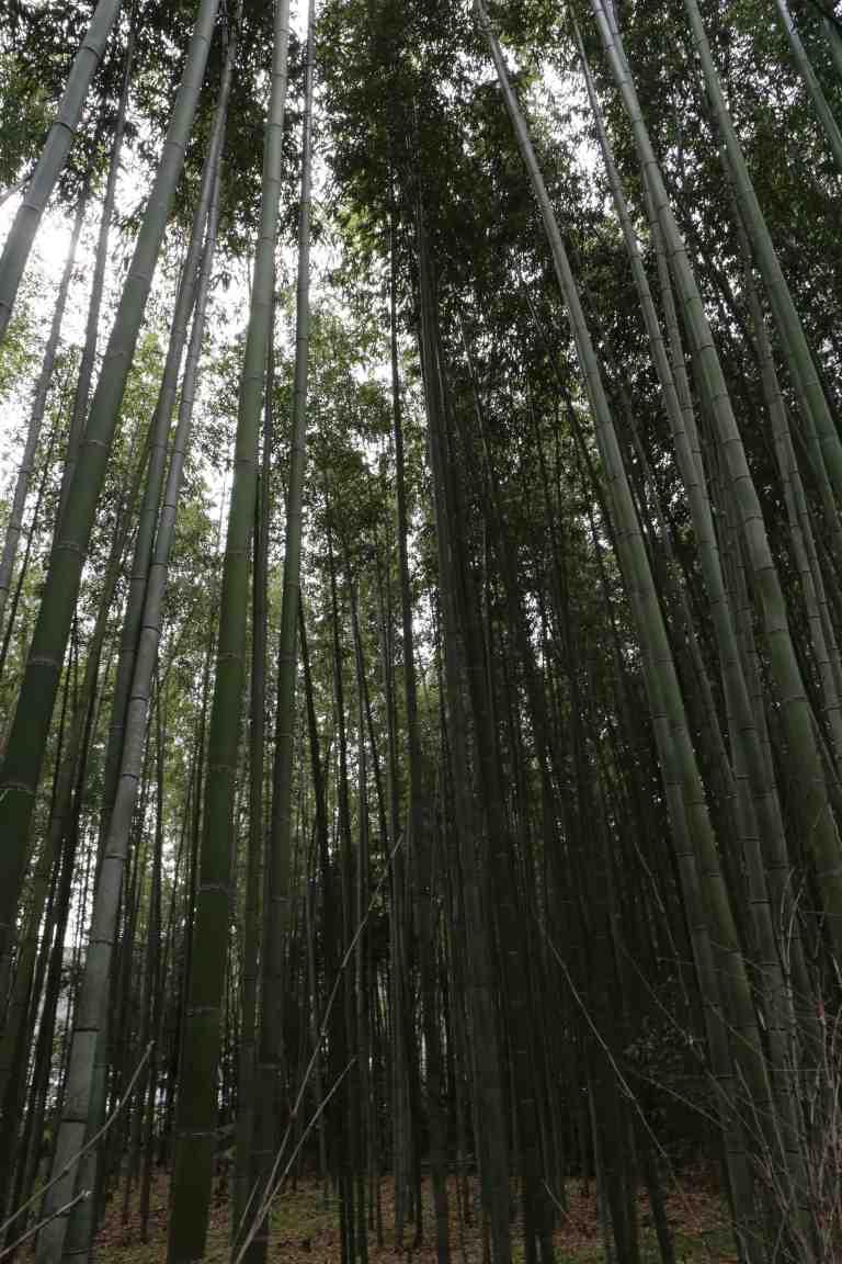 KyotoBamboo6